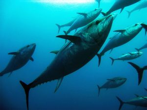 tuna swimming