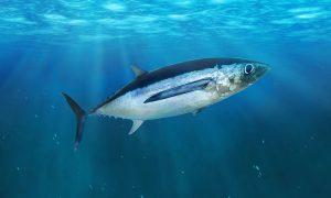 Albacore tuna in the open sea