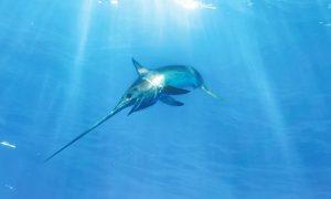 swordfish in the open sea