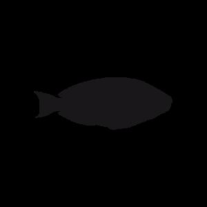 Parrotfish black thumbnail