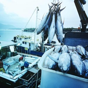 Delivering the tuna that has been caught