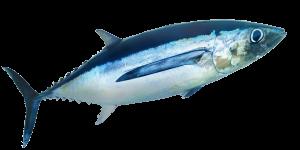 Albacore swimming in the open sea